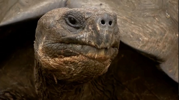 Galapagos Giant